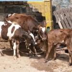 Bangalore cows